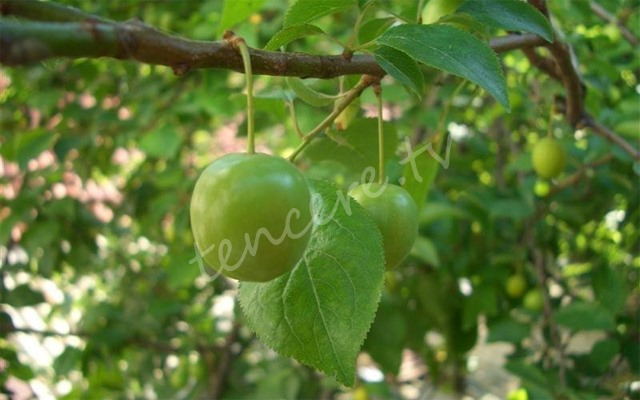 Yeşil eriğin bilinmeyen faydaları tarifi