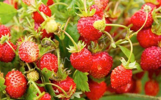 Kanserden koruyan meyve tarifi