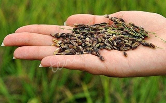 Yüksek antioksidan kaynağı siyah pirinç tarifi