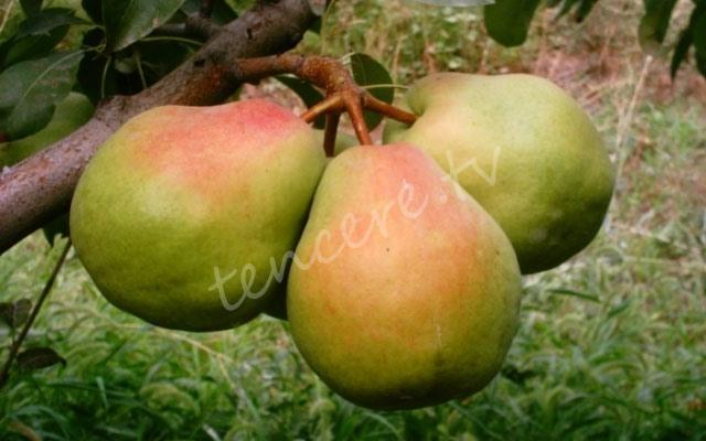 Armut meyvesinin faydaları! tarifi